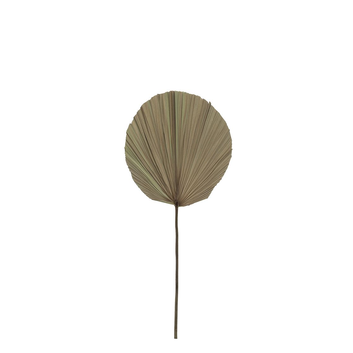 Dried Cut Fan Palm Stem Natural (Q) by Freedom by Freedom, a Plants for sale on Style Sourcebook