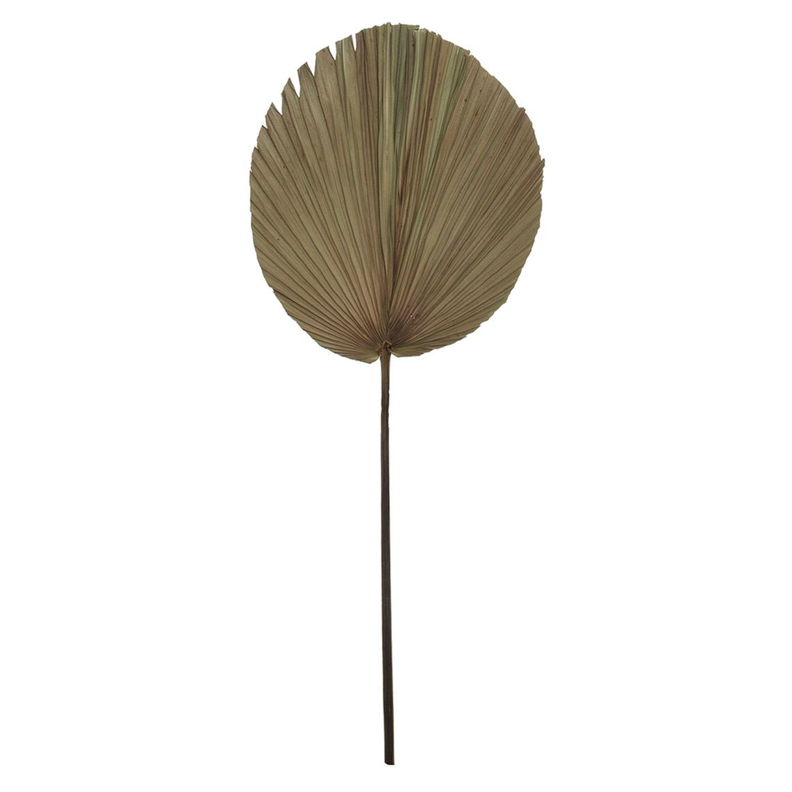 Dried Cut Fan Palm Stem Large Natural (Q) by Freedom by Freedom, a Plants for sale on Style Sourcebook