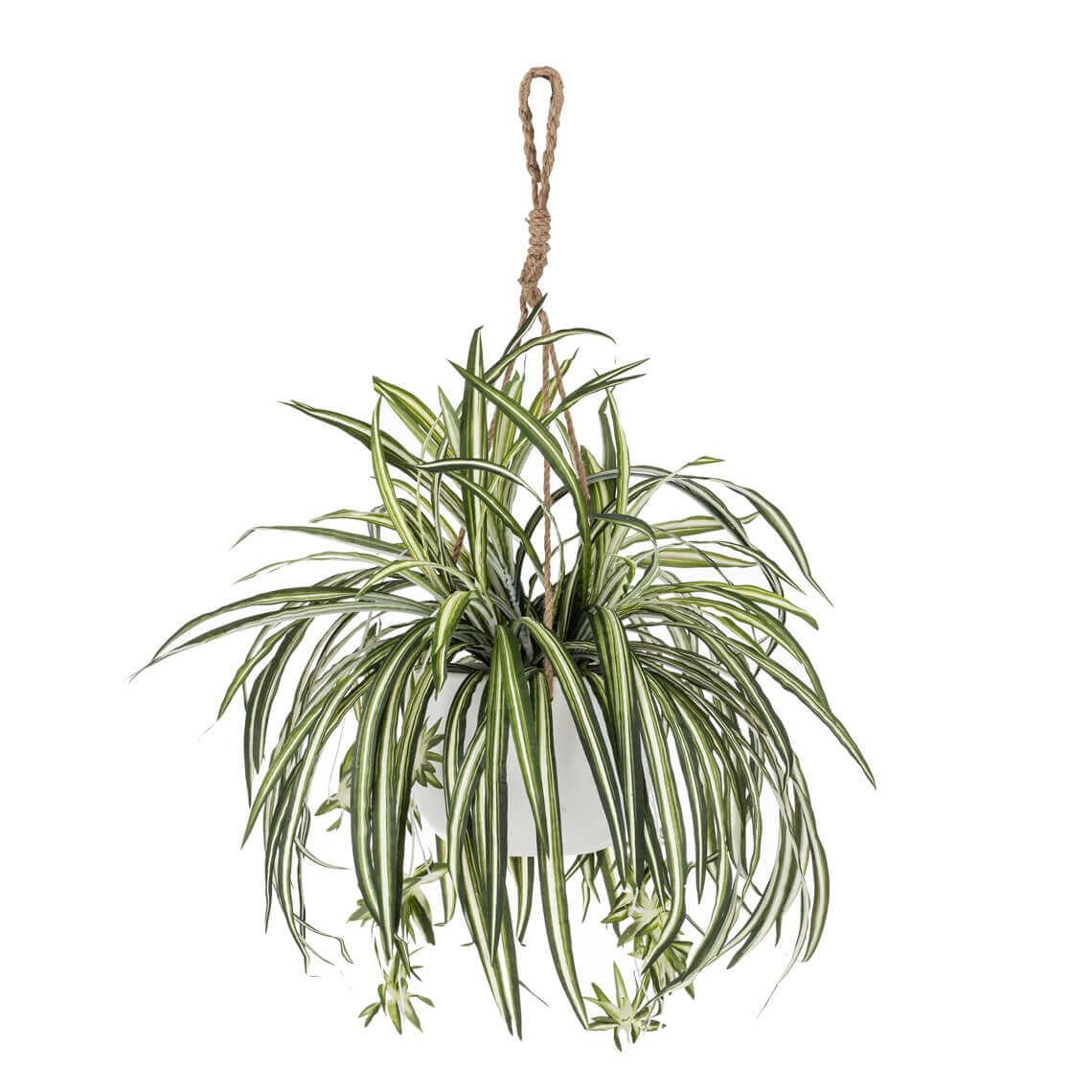 Rogue Arr Spider Plant 62cm Green by Freedom by Freedom, a Plants for sale on Style Sourcebook