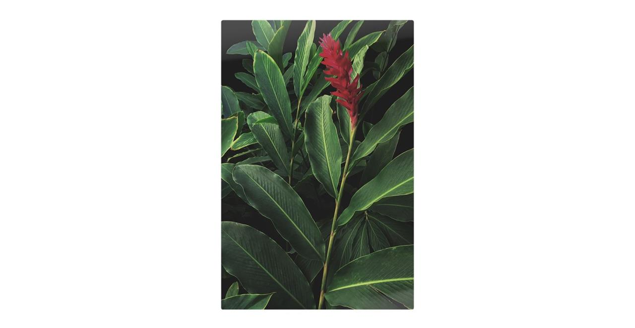 The Red Ginger Print Metal Print Small
